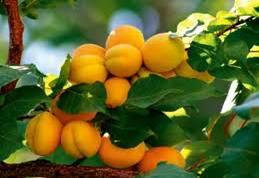 morele - witaminy rosną na drzewie